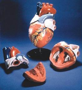 "Life-Sized Heart Model | 3.25"" x 6"" 