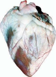 Sheep Hearts | Single Unit & Pack of 10 Available
