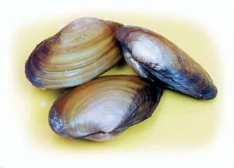 "Clam Specimen | 4""-5"" 
