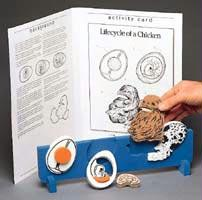 Bookplus Model | Lifecycle of a Chicken | Removable Pieces