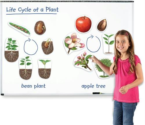 Giant Magnetic Plant Life Cycles | | 12 Magnets | Ages 5+