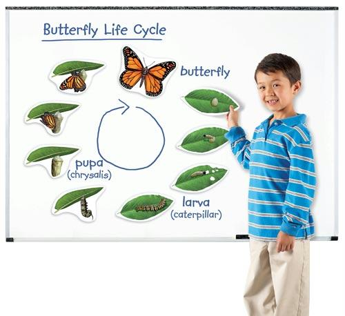 Giant Magnetic Butterfly Life Cycles | Includes 9 Magnets