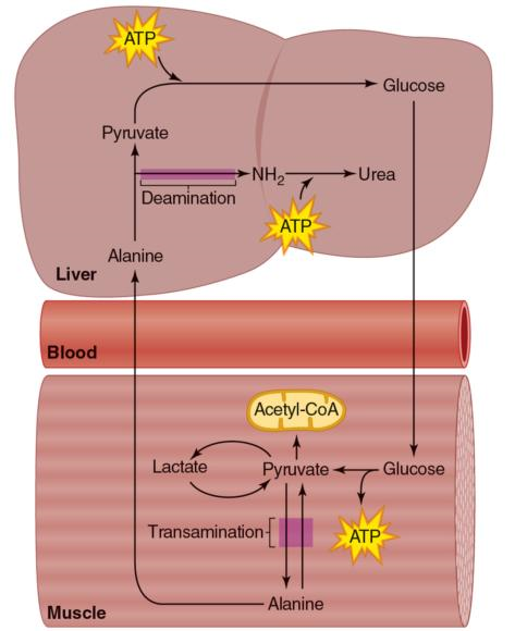 Figure 5.16 Alanine serves as an important gluconeogenic precursor.