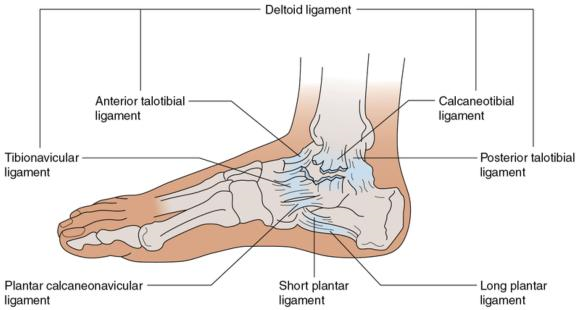 Figure 16.23 Injury to medial ligaments of the ankle. Carefully palpate the distal fibula for possible fracture with all serious eversion injuries.