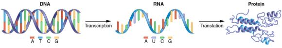 Figure 11.3 The central principle of molecular biology, whereby DNA codes for RNA, which codes for proteins.