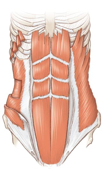 The muscles of the core.