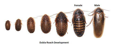 dubia roach female male growth