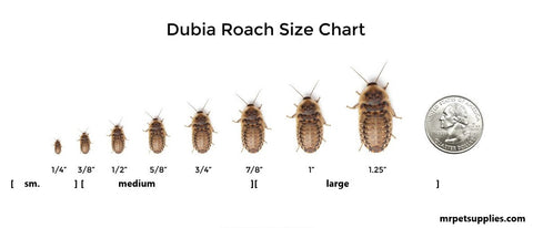 Dubia Roach size visual