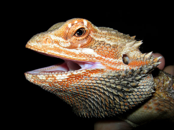 Bearded Dragons LOVE Dubia Roaches!