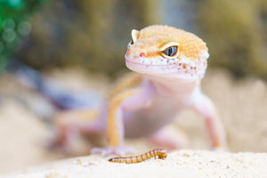 Leopard Geckos eat Dubia Roach too. Reptiles love us!