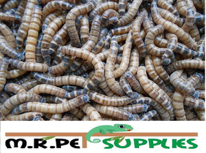 SuperWorms - Morio Beetle Larvae - M.R. Pet Supplies