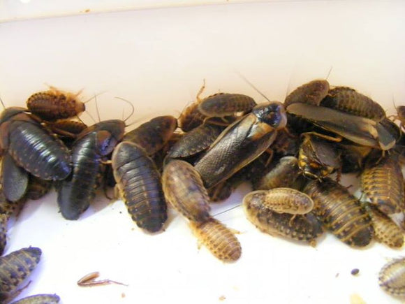 Dubia Roach Feeders - Pet Feeder Live Insects - M.R. Pet Supplies