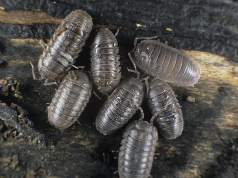 Wild Type Isopod, Pill Bug, RolyPoly Cleaning Crew Cultures (Armadillidium vulgare American Variety )
