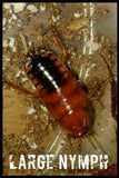 Red Runner large, Turkestan cockroach - Cricket Alternative - Dubia Alternative