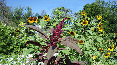 Amaranth and sunflowers