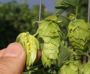Galaxy and Nelson – How Much is Too Much to be Spending on Your Hop Supply?