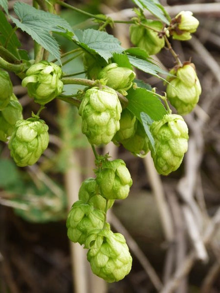 Thinking Outside the Box With Your Fresh Hop Brew