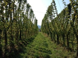 Our Recent Article In sommbeer.com About Hop Usage...