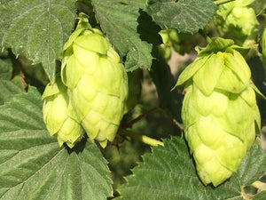 Northwest Hop Farms In The News
