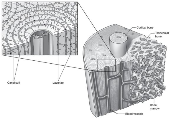 Figure 16.10 Structure and lacuna canalicular network of bone.