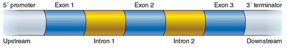 Figure 11.2 The basic structure of a gene, including the upstream promoter region, the coding exons separated by introns, and the downstream terminator region at the end of the gene.