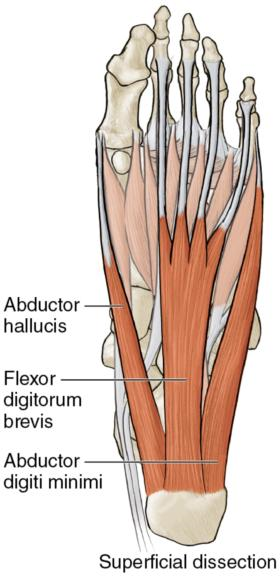 Figure 5.1 Muscles of the midfoot.