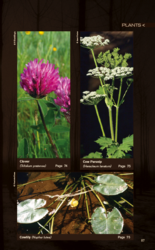 Edible plants - clover, cow parsnip, cowlily