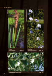 Edible plants-Cattail, Chicory and Cottonwood