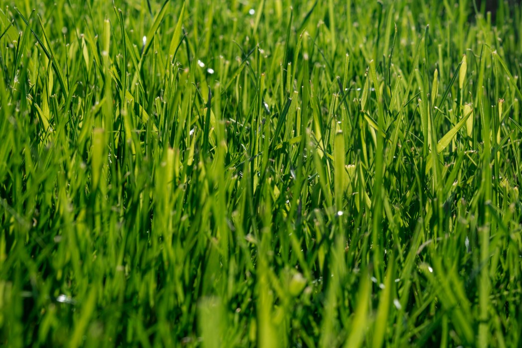 grass growing green with inorganic fertilizer