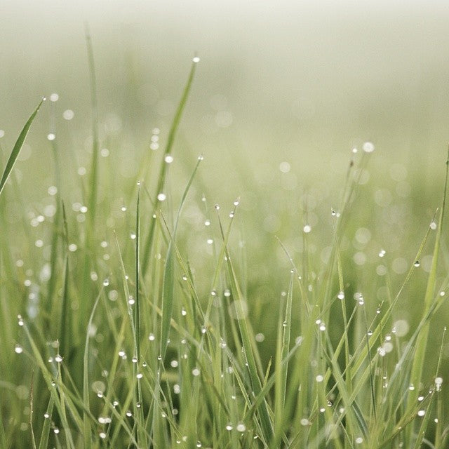 grass with dew on it