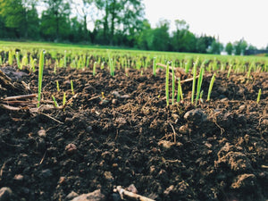 grass seedlings growing