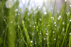 Blades of grass with dew
