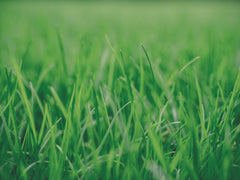 Close up shot of dense green grass