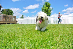 Sheepdog playing in a green grass lawn