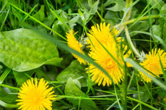 Close Up of Dandelion Weeds to be Removed from Green Lawn