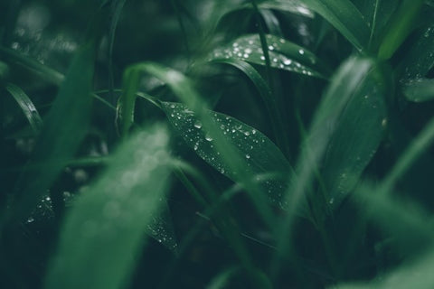 Close up of dark green grass with dew
