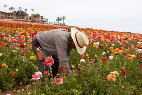 Man gardening in field of pink and yellow flowers