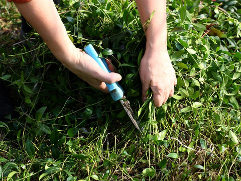Woman cutting weeds out of grass.