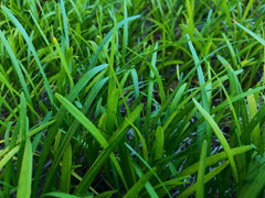 up close picture of long blades of grass