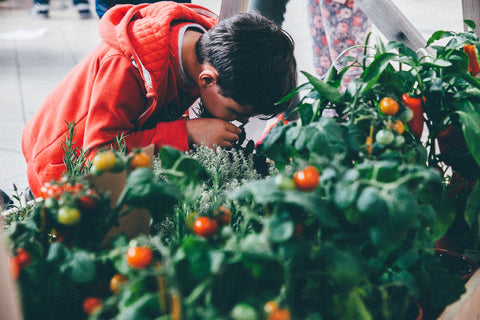 Young boy bending down smelling tomato plant