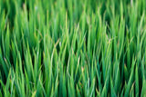 up close image of blades of green grass