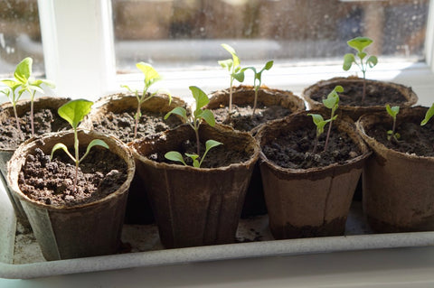 Young plants in cartons sitting by window