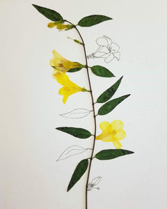 The Sketch Collection- Carolina Jessamine