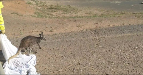 Kangaroo being released by firefighters