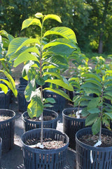Pawpaw Container Tree For Sale