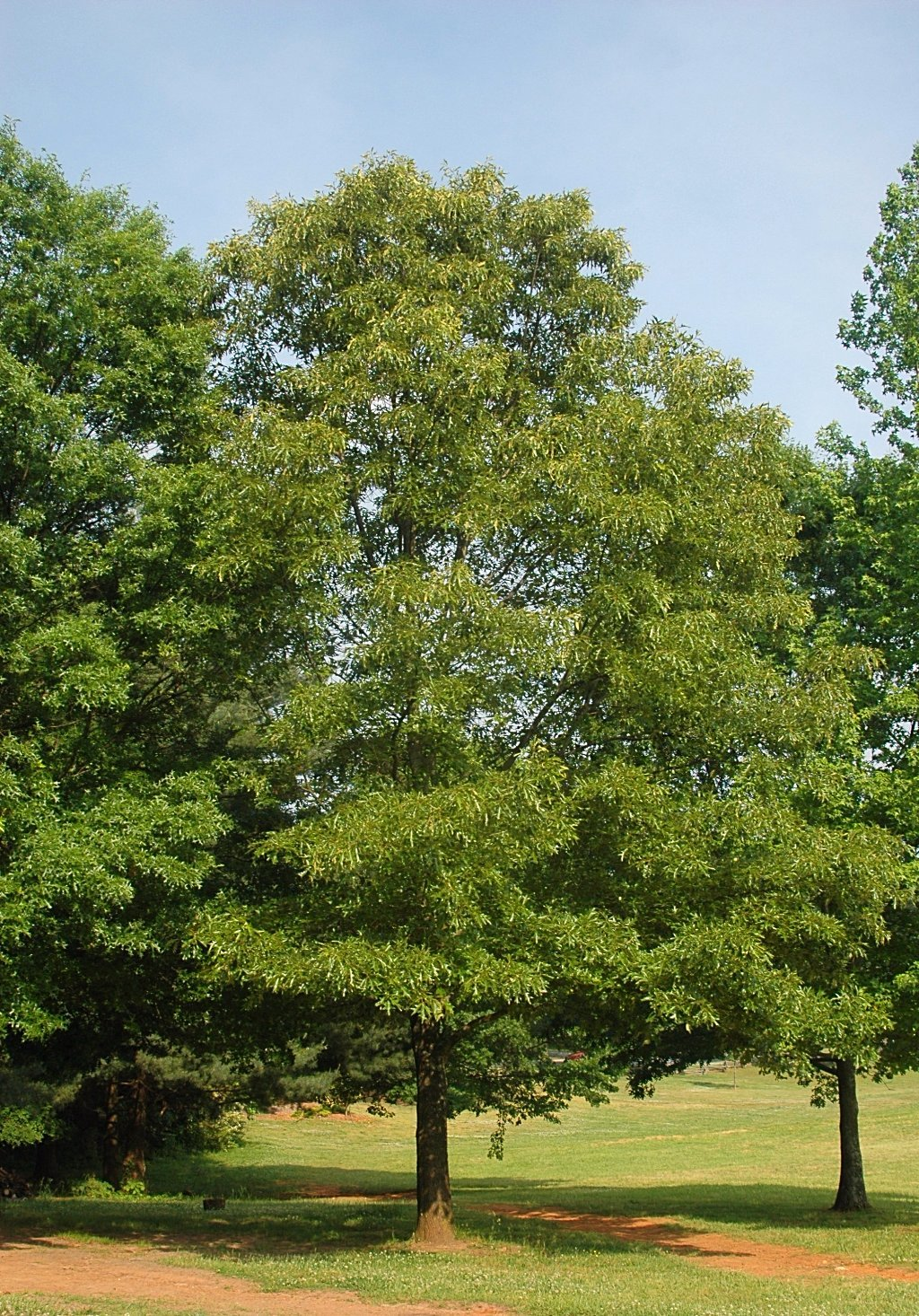 Oak, Southern Red Tree For Sale