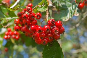 Washington Hawthorn Berries for sale