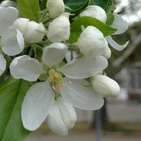 Dolgo Crabapple Tree Blossoms For Sale