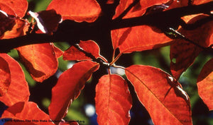 Black Gum Leaves fall color for sale