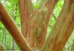 Crape Myrtle Muskogee Tree bark for sale